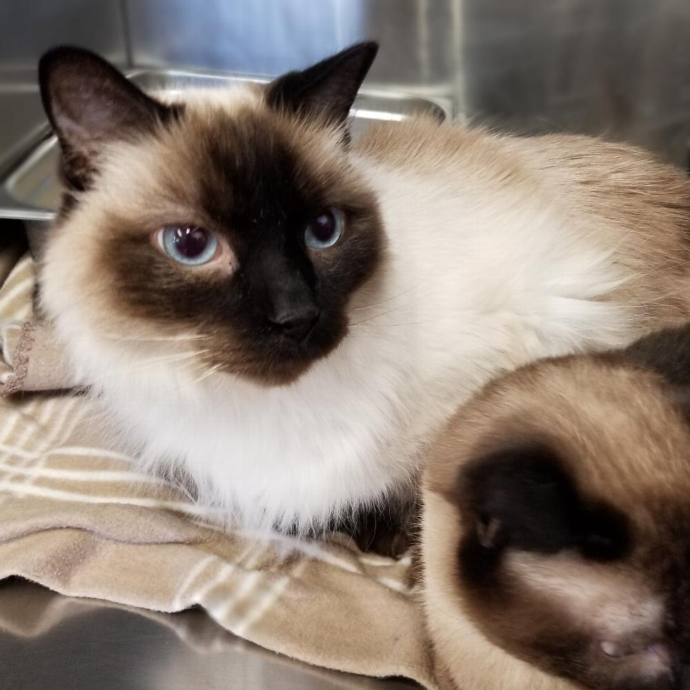 Declawed Male Cat For Adoption