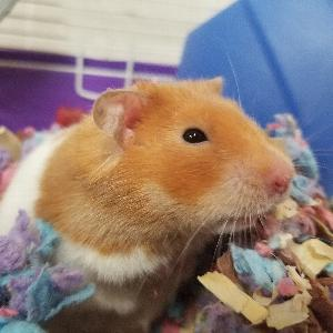 Mom Hamster